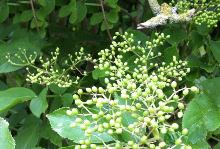 Saltsyltede grønne hyldebær – Nordens kapers