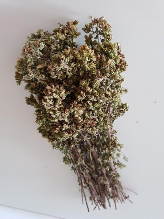 Økologisk og tørret oregani på stilk fra sikani