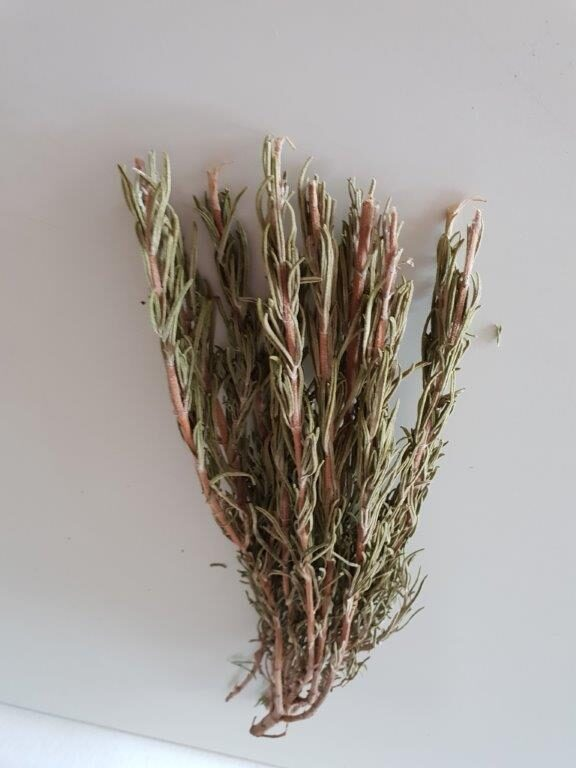 Økologisk og tørret rosmarin på stilk fra sikani